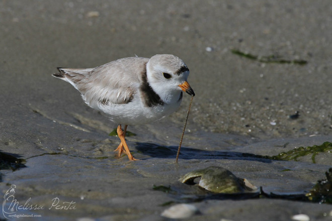 Piping Plover grabbing a meal